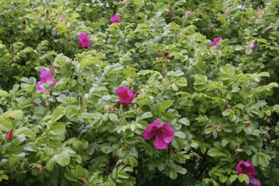 rosa-rugosa-flower