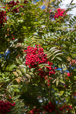 sorbus-rose-queen-firgrove-photographic