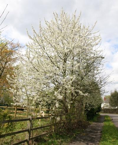 Prunus avium plena ©RHS plants
