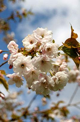 Prunus Ichiyo ©rhs